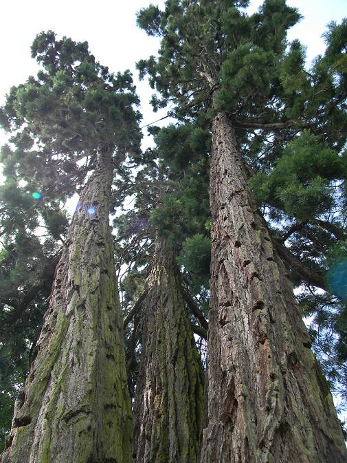 Sequoiadendron giganteum - séquoia géant - Page 3 Seq711