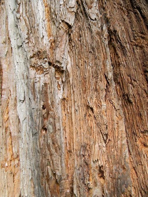 Sequoiadendron giganteum - séquoia géant - Page 3 Seq811