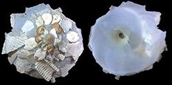 Xenophoridae Onustus - Discussion sur le genre, la planche 250_on10