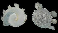 Xenophoridae Stellaria - Discussion sur le genre, la planche  250_st10