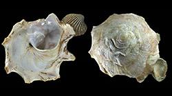 Xenophoridae Stellaria - Discussion sur le genre, la planche  250_st11