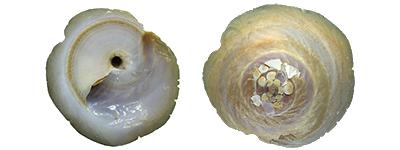 Xenophoridae Onustus - Discussion sur le genre, la planche 400_on11