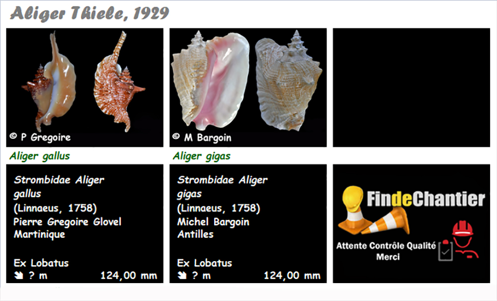 Strombidae Aliger  - Le genre, ses espèces, la planche Aliger10