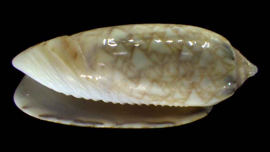 Americoliva circinata jorioi (Petuch, 2013) - Worms = Oliva circinata circinata Marrat, 1871 Americ11