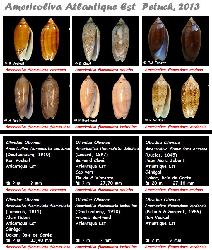 Olividae Americoliva - Le genre, ses espèces, la planche Americ12