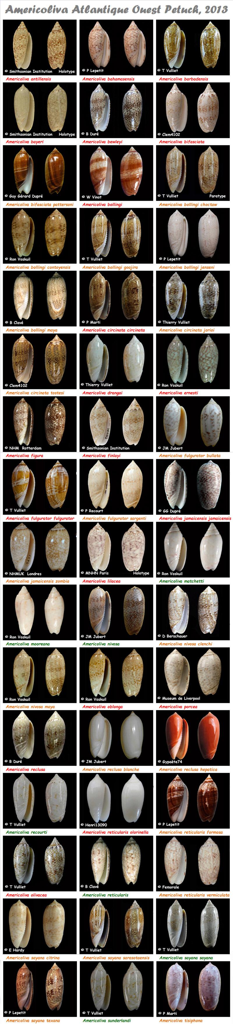 Olividae Americoliva - Le genre, ses espèces, la planche Americ13