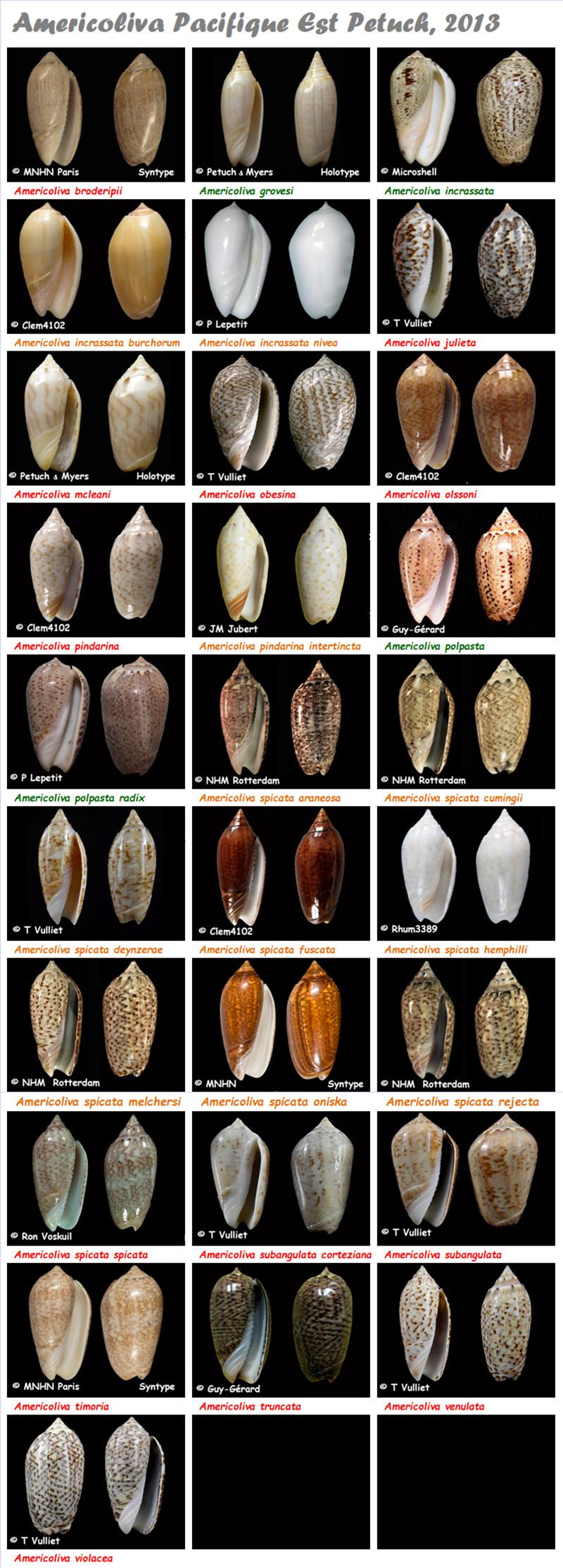 Olividae Americoliva - Le genre, ses espèces, la planche Americ15