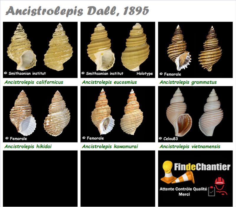 Buccinidae Ancistrolepis - Le genre, ses espèces, la planche Ancist10