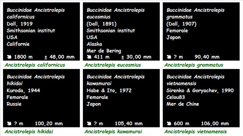 Buccinidae Ancistrolepis - Le genre, ses espèces, la planche Ancist11