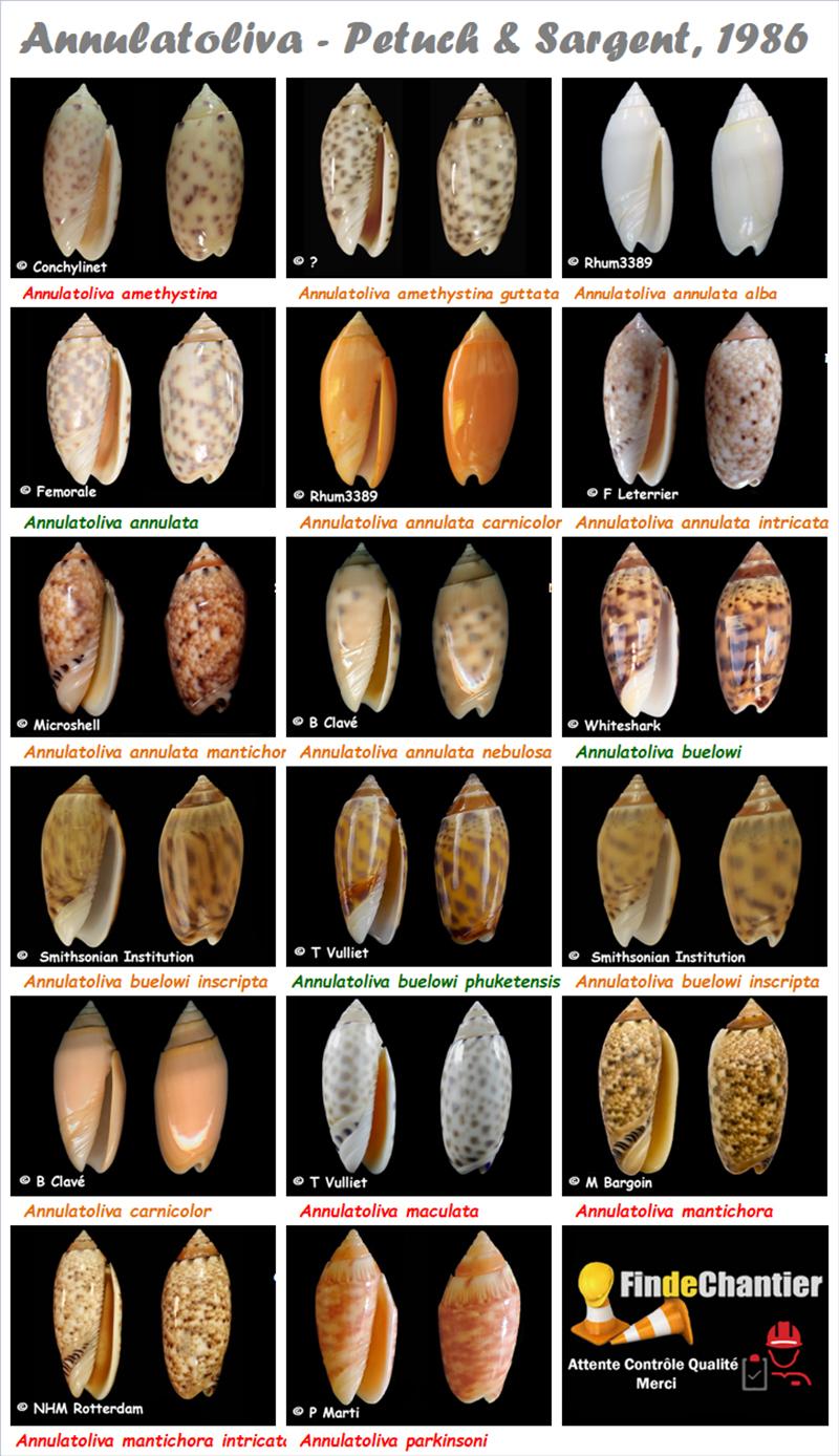 Olividae Annulatoliva - Le genre, ses espèces, la planche Annula11