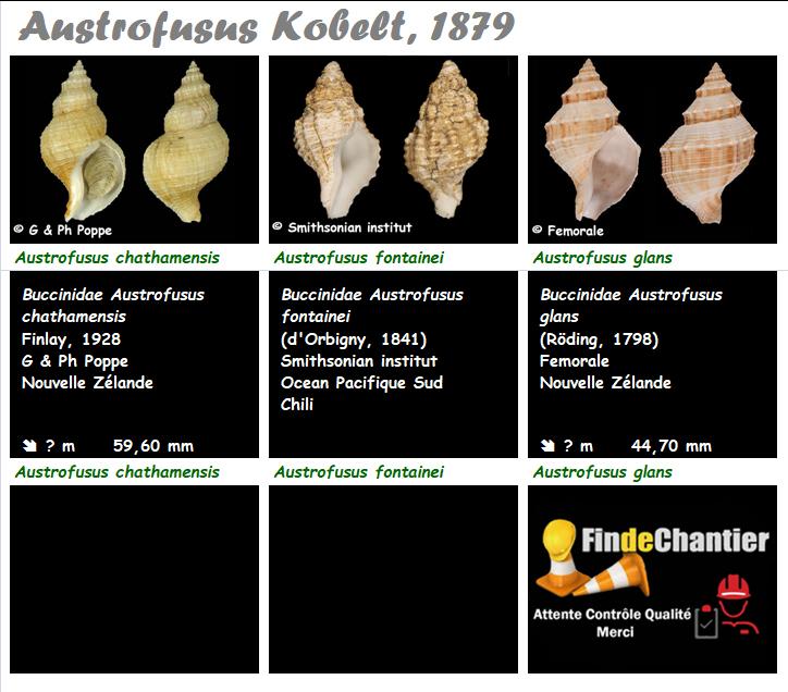 Buccinidae Austrofusus - Le genre, ses espèces, la planche Austro12