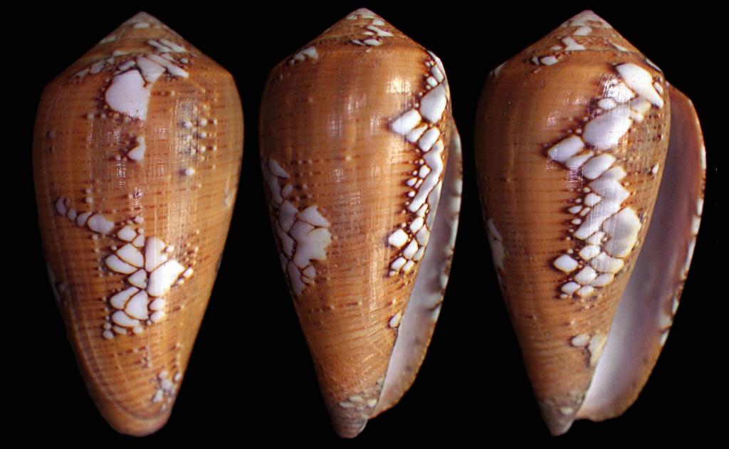 Conus (Darioconus) behelokensis   Lauer, 1989 - Page 3 Behelo10