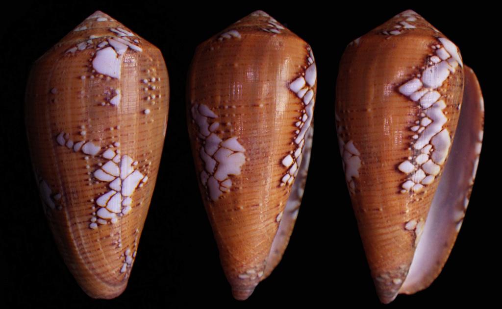 Conus (Darioconus) behelokensis   Lauer, 1989 - Page 3 Behelo12