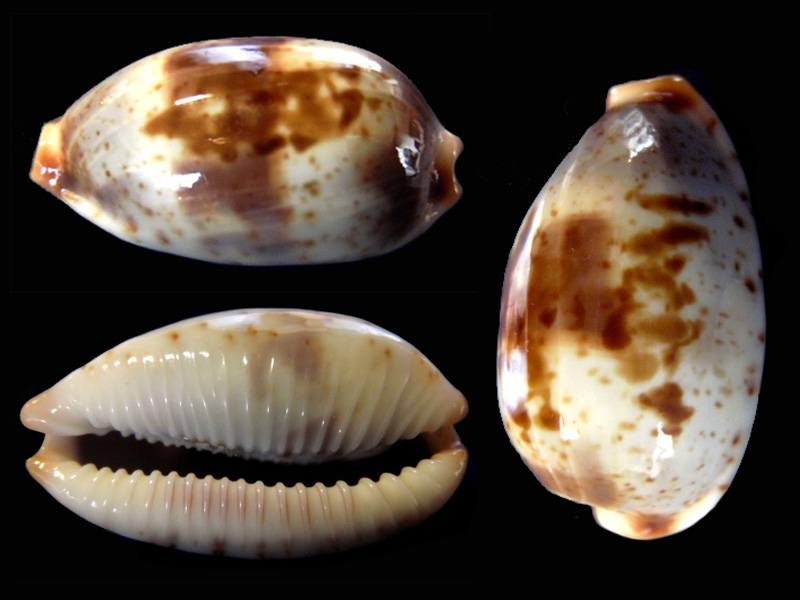 Bistolida erythraeensis - (G. B. Sowerby I, 1837) Bistol14