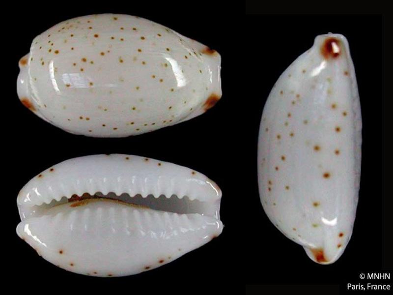 Bistolida nanostraca - Lorenz & Chiapponi, 2012 Bistol23