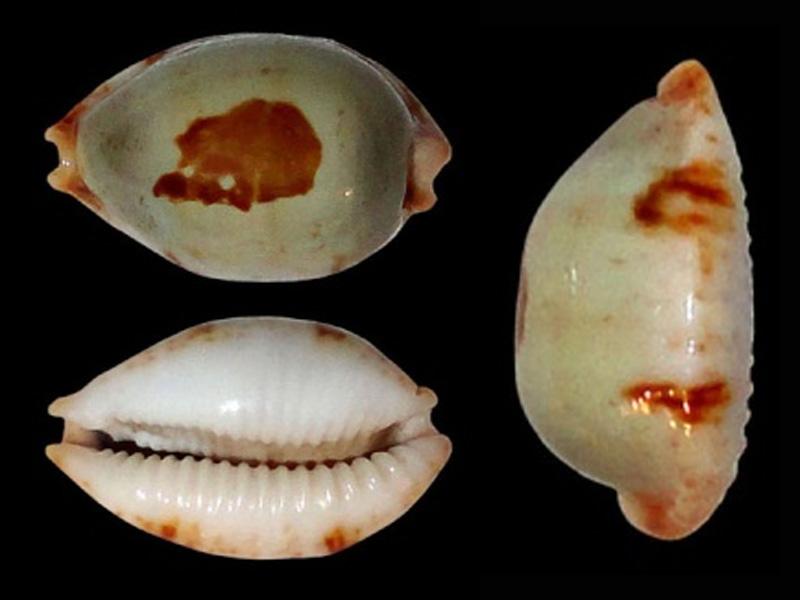 Bistolida stolida brianoi - Lorenz, 2002  Bistol26