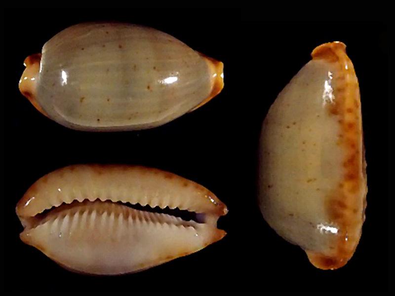Bistolida stolida clavicola - Lorenz, 1998 Bistol27