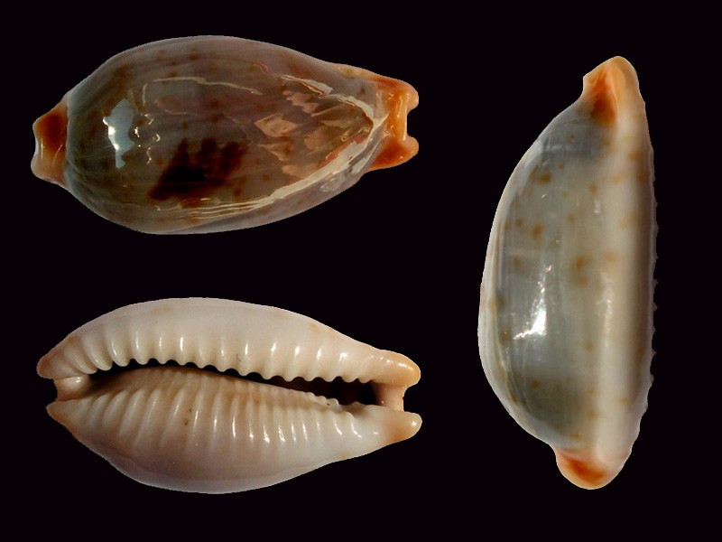 Bistolida stolida salaryensis - Bozzetti, 2008 Bistol31