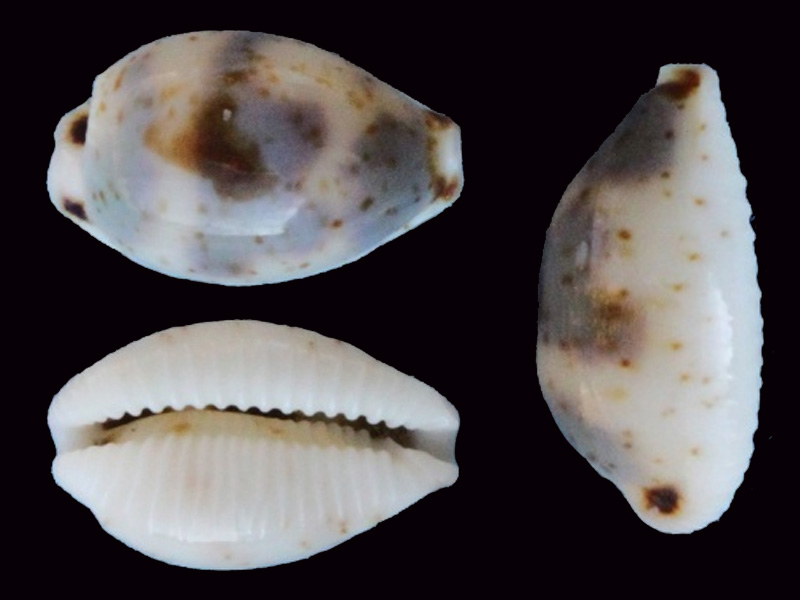 Bistolida ursellus - (Gmelin, 1791) Bistol33
