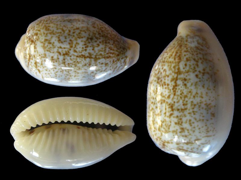 Blasicrura pallidula pallidula - (Gaskoin, 1849) Blasic11