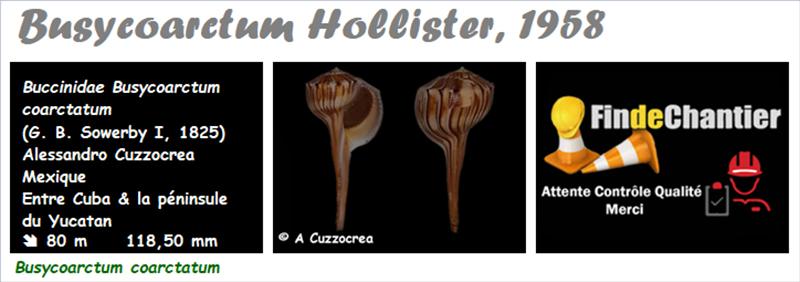 Buccinidae Busycoarctum - Le genre,  l'espèce, la planche Buccin17