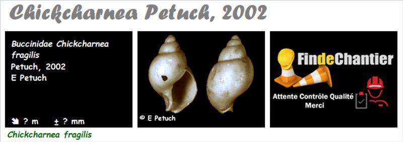 Buccinidae Chickcharnea  - Le genre,  l'espèce, la planche Buccin19