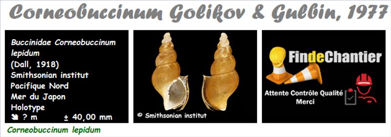 Buccinidae Corneobuccinum - Le genre,  l'espèce, la planche Buccin21