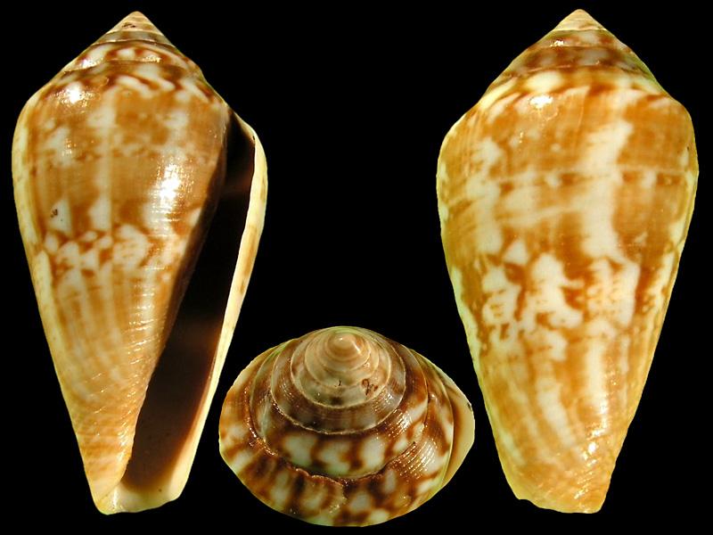 Conidae Californiconus - Le genre, son espèce, la planche Califo10