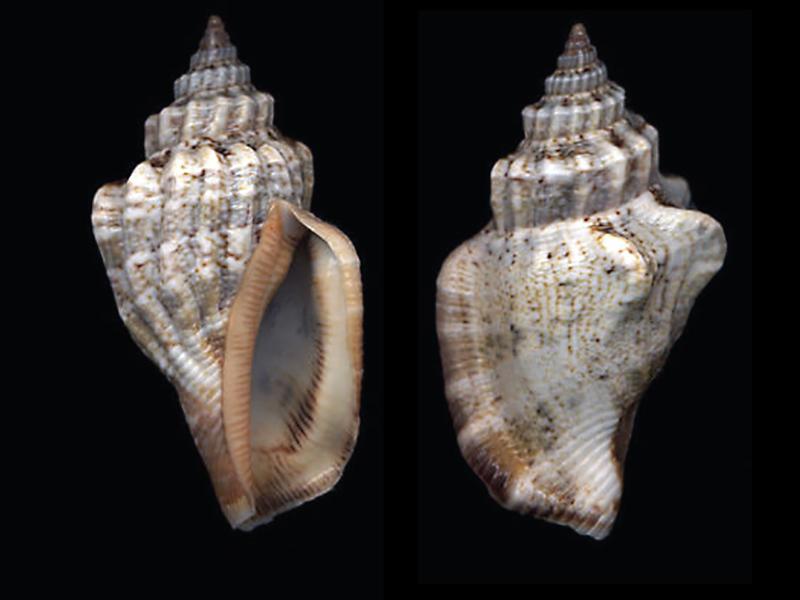 Canarium labiatum - (Röding, 1798) Canari10