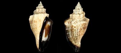 Strombidae Canarium  - Discussion sur le genre, la planche Canari12