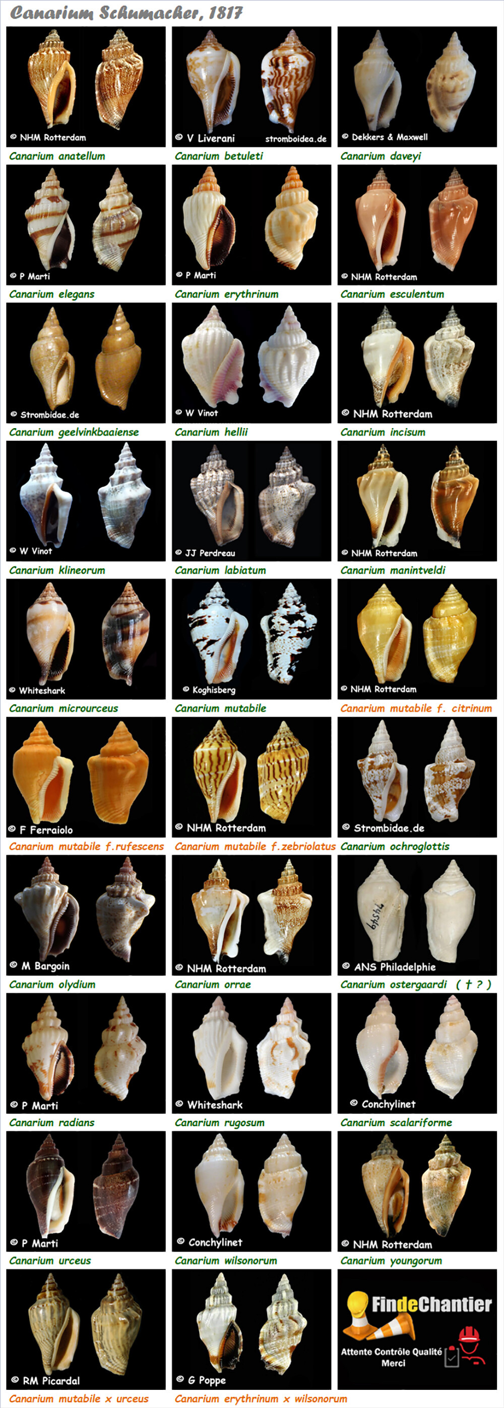 Strombidae Canarium - Le genre, ses espèces, la planche Canari15