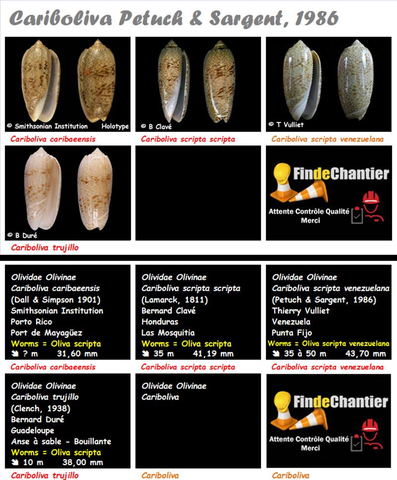 Olividae Cariboliva - Le genre, ses espèces, la planche Caribo12