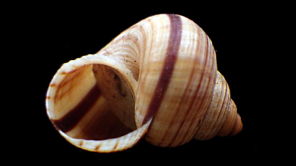 Tropidophora probablement mal étiqueté Cernue11