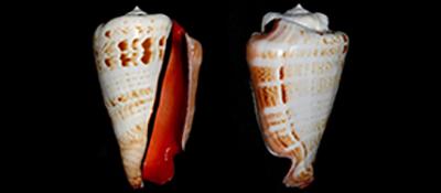 Strombidae Conomurex  - Discussion sur le genre,  la planche Conomu10
