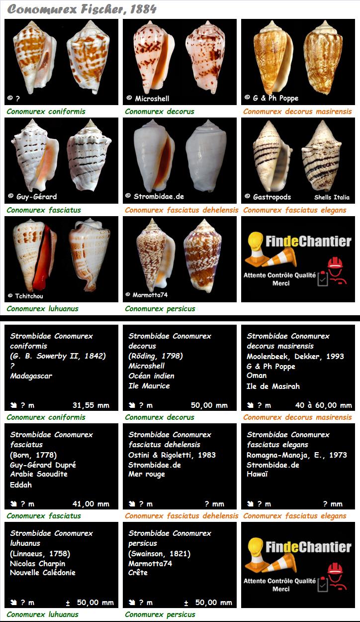 Strombidae Conomurex - Le genre, ses espèces, la planche Conomu11