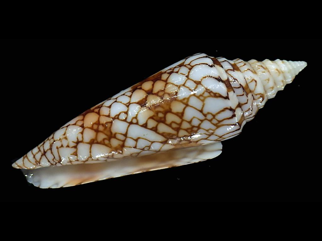 Conus (Leptoconus) milneedwardsi clytospira  Melvill & Standen, 1899 - Page 2 Conus113