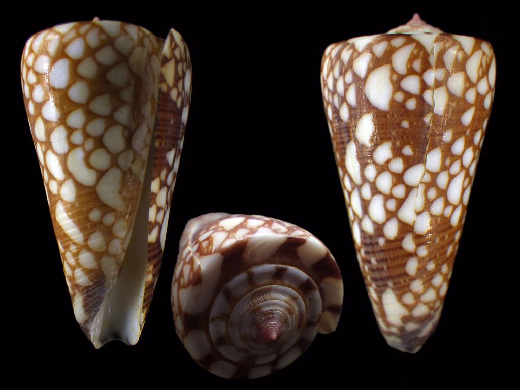 Conus (Eugeniconus) gisellelieae (Parsons, Abbas & Lie, 2020) Conus119