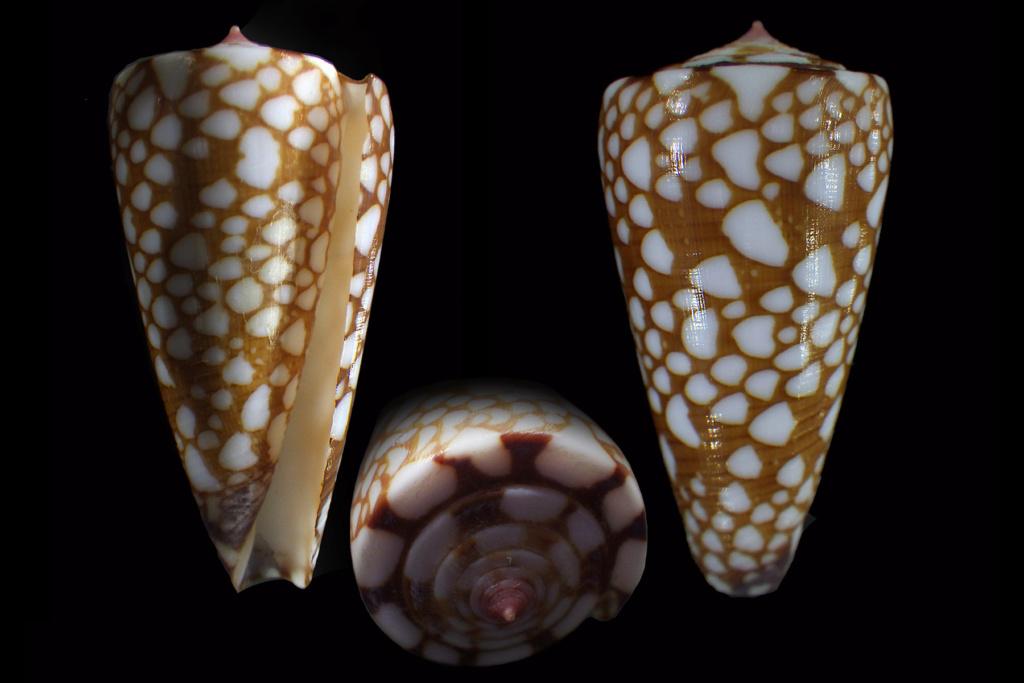 Conus (Eugeniconus) gisellelieae (Parsons, Abbas & Lie, 2020) Conus120