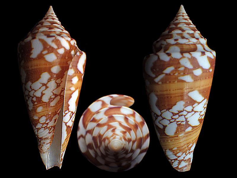 Conus (Leptoconus) castaneofasciatus arbornatalis  da Motta, 1978 Conus_11