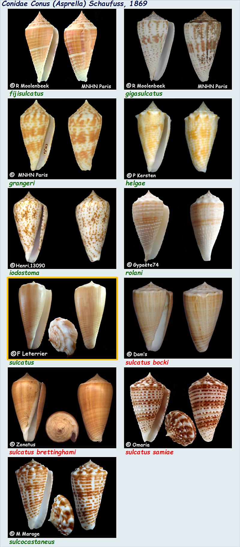 Conidae Conus (Asprella) - Le genre, ses espèces la planche Conus_13