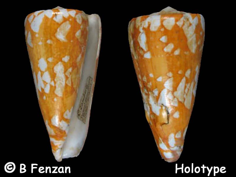 Conus (Darioconus) lamberti   Souverbie, 1877 Conus_20