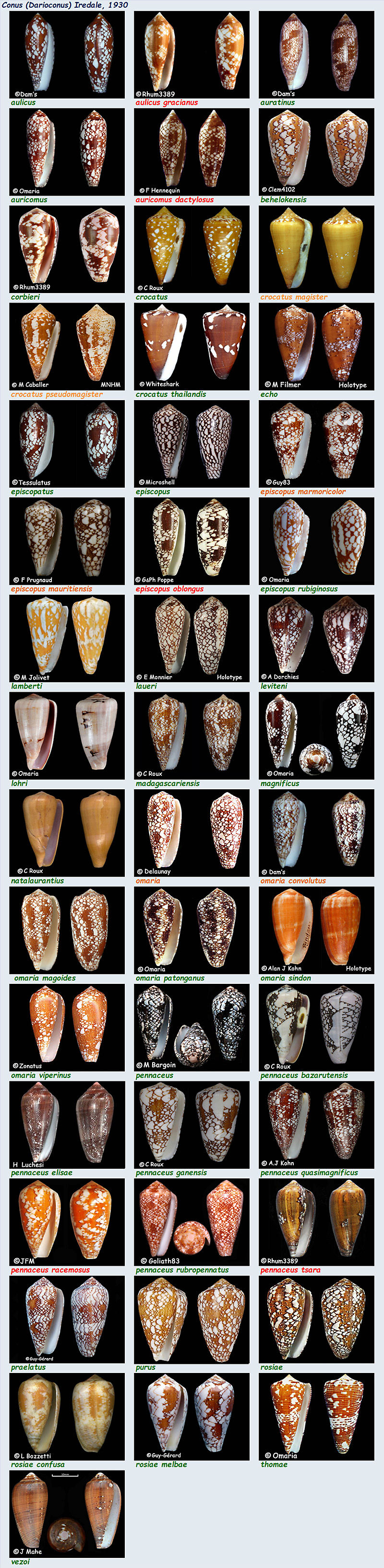 Conidae Conus (Darioconus) - Le genre, ses espèces, la planche Conus_21