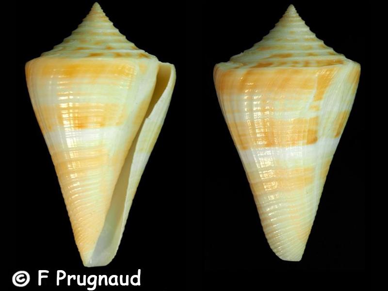 Conus (Dauciconus) stimpsoni   Dall, 1902 Conus_22
