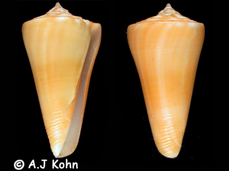 Conus (Dauciconus) poulosi Petuch, 1993 voir Conus (Attenuiconus) poulosi Petuch, 1993 Conus_23