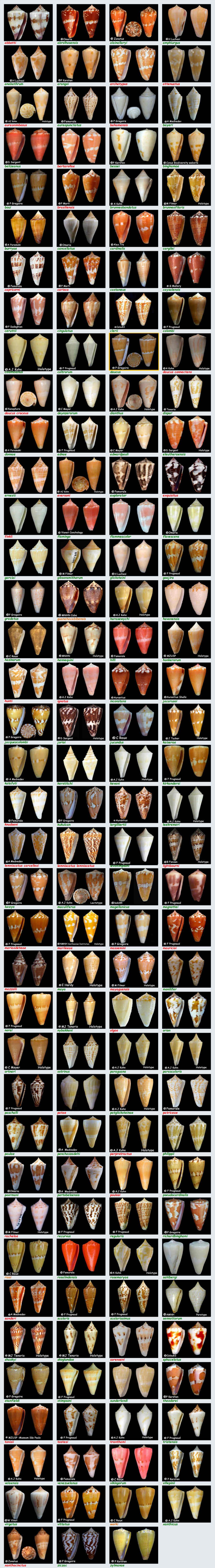 Conidae Conus (Dauciconus) - Le genre, ses espèces, la planche Conus_28