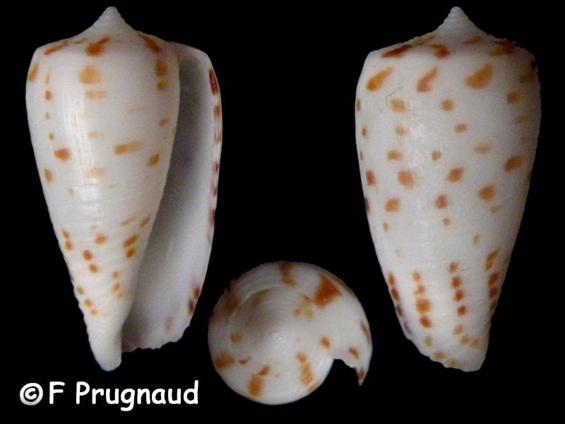Conus (Phasmoconus) blanfordianus - Crosse 1867 & Conus mpenjatiensis (S. G. Veldsman, 2016) Conus_45