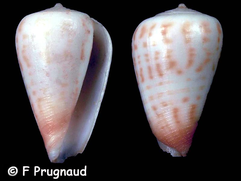 Conus (Phasmoconus) blanfordianus - Crosse 1867 & Conus mpenjatiensis (S. G. Veldsman, 2016) Conus_46