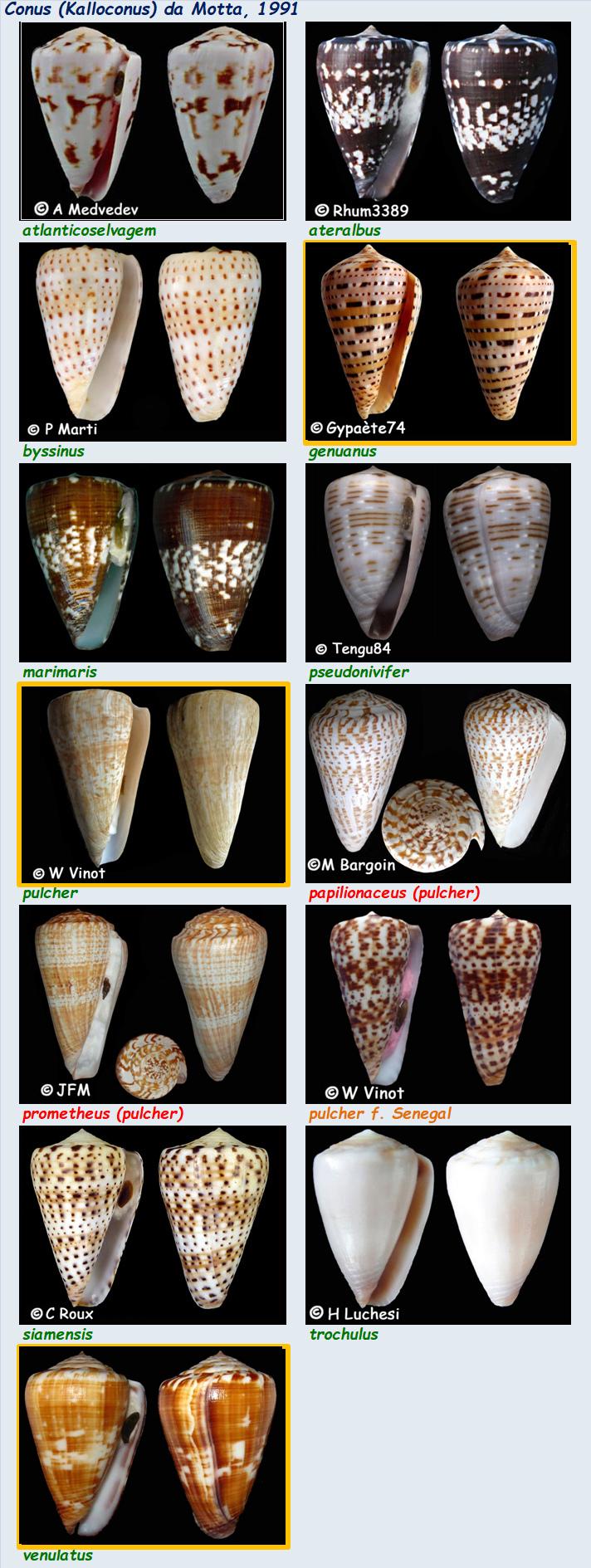 Conidae Conus (Kalloconus) - Le genre, ses espèces, la planche 03/03 Conus_51