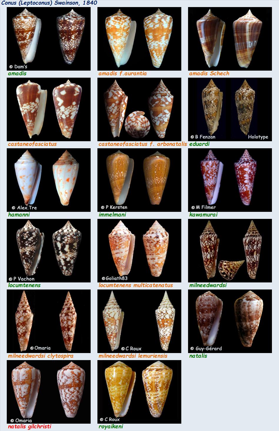 Conidae Conus (Leptoconus) - Le genre, ses espèces, la planche 10/16 Conus_68