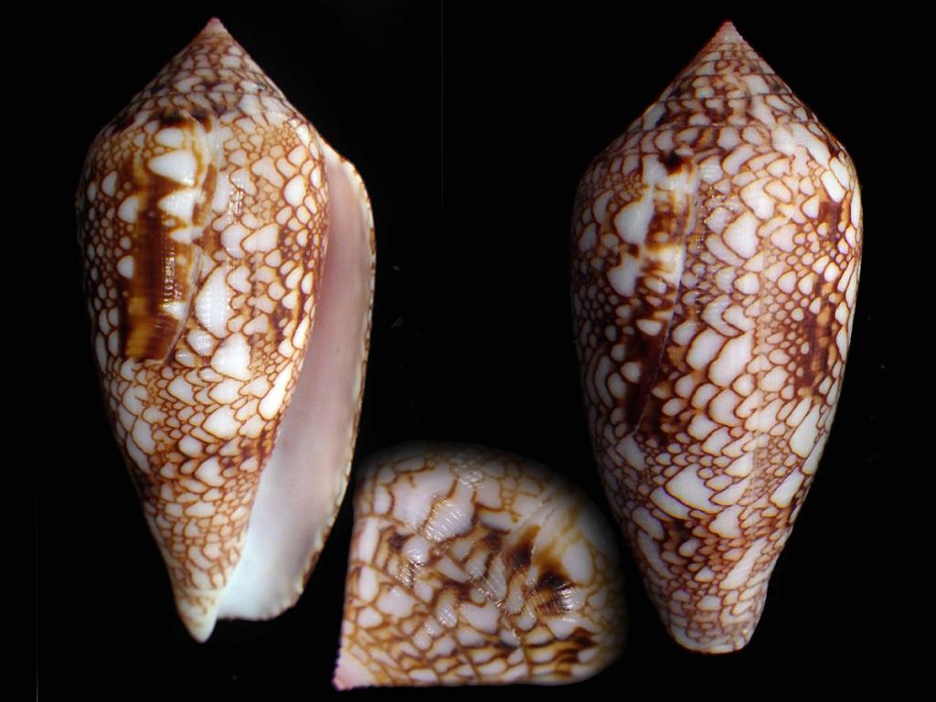 Conus_canonicus_condensus Conus_80
